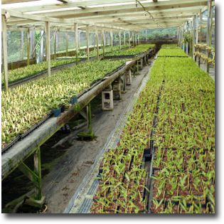 Today The Nursery Thrives As A Family Tradition An International Exporter Of Thousands Varieties Hawaiian Orchids 3 1 2 Acres Verdant Orchid